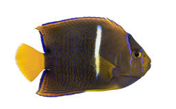 Side view of a Passer Angelfish Royalty Free Stock Images
