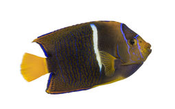 Side view of a Passer Angelfish, Holacanthus passer Stock Photography
