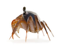 Side view of Patriot crab, Cardisoma armatum Stock Image