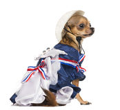 Side view of a Patriotic Chihuahua sitting Stock Photography