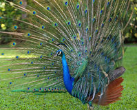 Side view of Peacock with open tail Stock Images