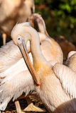 Side view on pelican bird near river Royalty Free Stock Photo