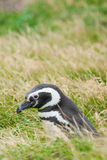 Side view of penguin Royalty Free Stock Photos