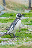 Side view of penguin Stock Photography