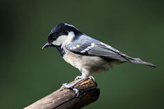 Side view of perching Coal Tit against blurred green background Stock Image