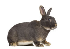 Side view of Perle fée rabbit Royalty Free Stock Images