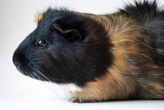 Side on view of pet guinea pig Stock Images