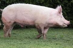 Side view photo of a young domestic pig sow on animal farm summe Royalty Free Stock Image