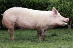 Side view photo of a young domestic pig sow on animal farm summe Royalty Free Stock Photography