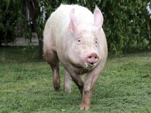 Side view photo of a young domestic pig sow on animal farm summe Stock Photo