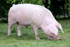 Side view photo of a young domestic pig sow on animal farm summe Royalty Free Stock Images