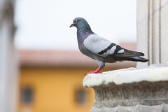 Side view of pigeon on building Stock Photos