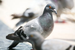 Side view of pigeon Royalty Free Stock Image