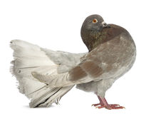 Side view of a Pigeon standing Stock Images