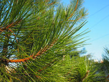 Side view of a pine branch with long needles closeup Royalty Free Stock Images