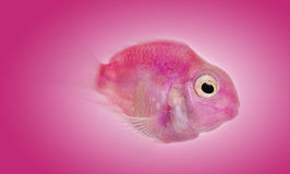 Side view of a pink fresh water fish stock photography
