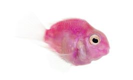 Side view of a pink fresh water fish swimming stock photos