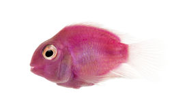 Side view of a pink fresh water fish swimming, isolated. On white stock photos