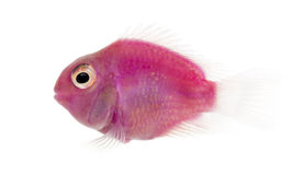 Side view of a pink fresh water fish swimming, isolated. On white royalty free stock images