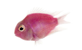 Side view of a pink fresh water fish swimming, isolated. On white stock photo