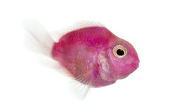 Side view of a pink fresh water fish swimming, isolated stock photography