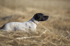 Side view of pointer stock photography