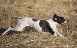 Side view of pointer running stock photography