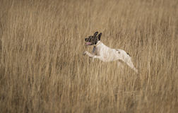 Side view of pointer running stock image