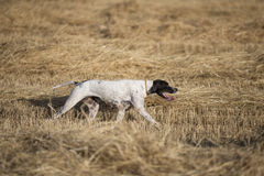 Side view of pointer walking royalty free stock image