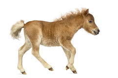 Side view of a poney, foal trotting against white background Royalty Free Stock Photography