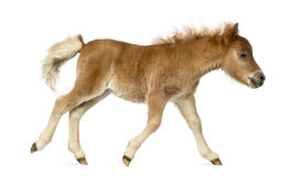Side view of a poney, foal trotting against white background Royalty Free Stock Photo