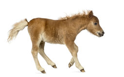 Side view of a poney, foal trotting against white background Stock Image