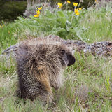 Side view of Porcupine Royalty Free Stock Images