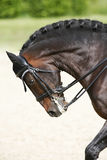 Side view portrait of a bay dressage horse during training outdo Royalty Free Stock Images