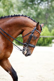 Side view portrait of a bay dressage horse during training outdo Stock Image