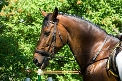 Side view portrait of a bay dressage horse! Royalty Free Stock Photo