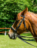 Side view portrait of a bay dressage horse. Royalty Free Stock Photo