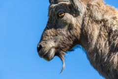 Side view portrait of beard alpine capra ibex capricorn blue sky. Side view portrait of natural beard alpine capra ibex capricorn blue sky Royalty Free Stock Photography