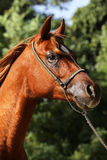 Side view portrait of beautiful arabian horse in summer corral Stock Images
