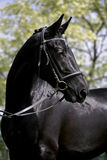 Side view portrait of a beautiful black colored mare Royalty Free Stock Image