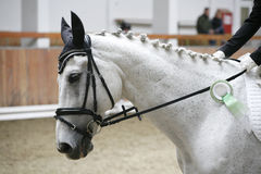 Side view portrait of a beautiful grey dressage horse with award Royalty Free Stock Photo
