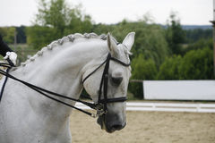 Side view portrait of a beautiful grey dressage horse during wor Royalty Free Stock Image