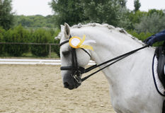 Side view portrait of a beautiful grey dressage horse during work Royalty Free Stock Images