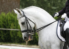 Side view portrait of a beautiful grey dressage horse during work Stock Images