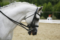 Side View Portrait Of A Beautiful Grey Dressage Horse During Work Stock Photos