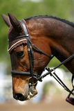 Side view portrait closeup of a beautiful show jumper horse`s he Royalty Free Stock Images