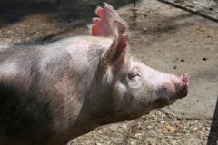 Side view portrait closeup of a pink colored yoiung pig sow Royalty Free Stock Photo