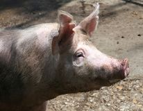 Head of a beautiful young pig sow Stock Photo