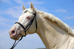 Side view portrait of a cremello horse with bridle against blue Stock Photo
