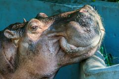 Side view portrait of cute hippo close up. People and animals in the city. 2011.04.28, Bangkok, Thailand. Side view portrait of cute hippo close up. People and royalty free stock image